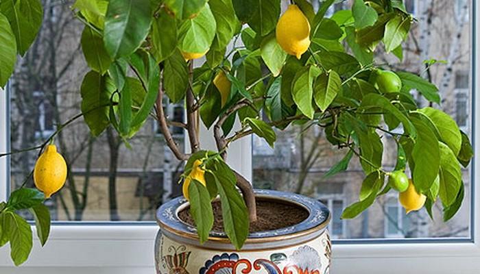 Как вырастить лимон из косточки домашних условиях