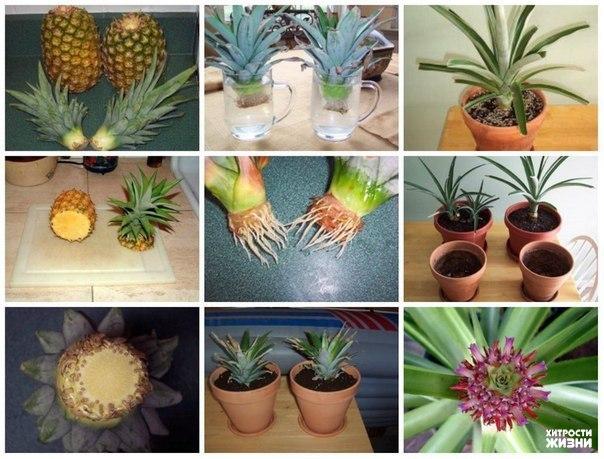 Посадка ананас в домашних условиях