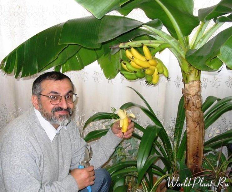 Как в домашних условиях вырастить банан в домашних условиях