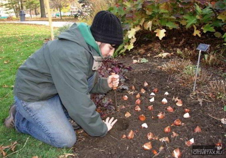 Когда осенью сажать тюльпаны 855