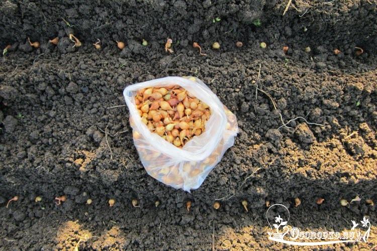 Правильно сажаем лук севок весной