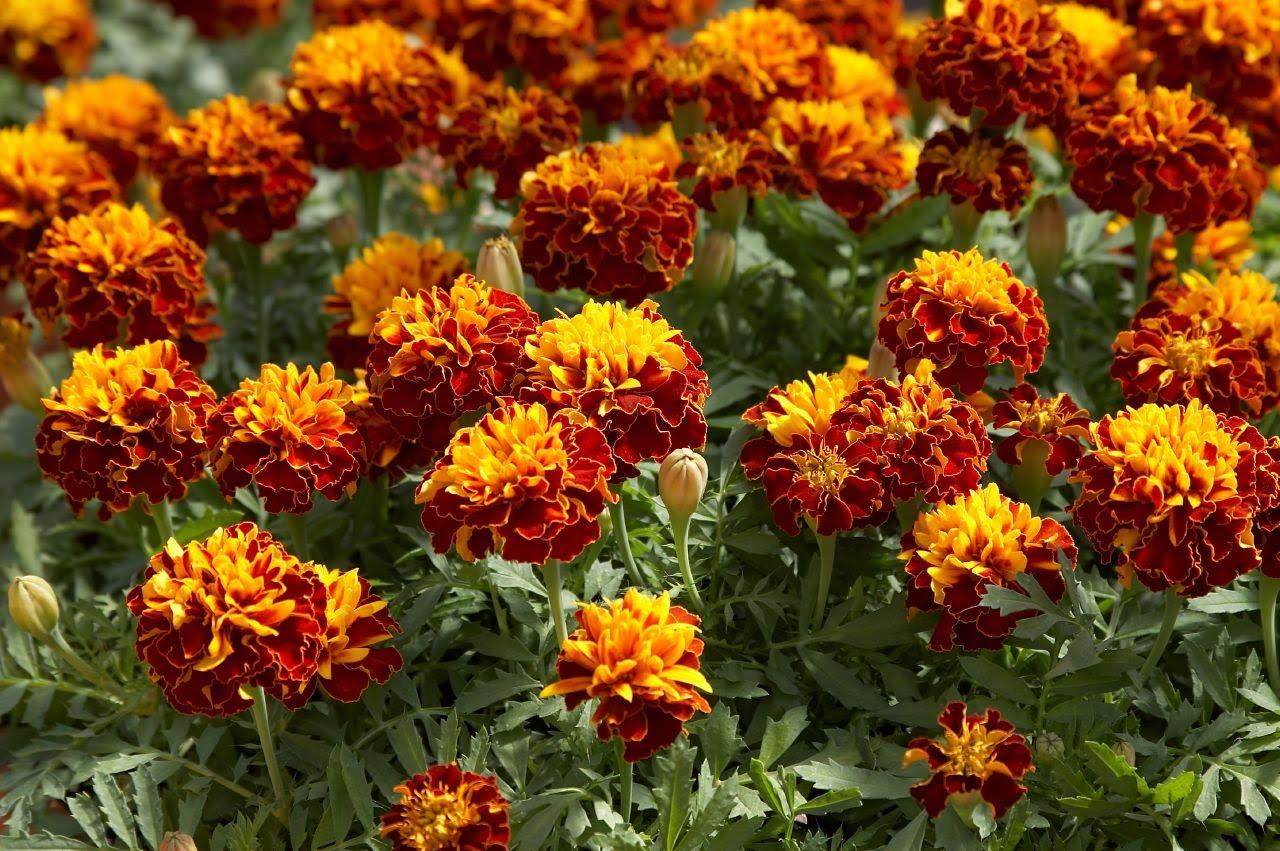 Купить цветы садовые в украине