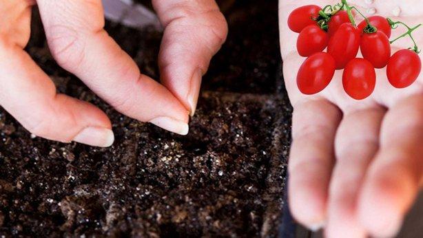 Выращивание рассады томатов (помидоров): сроки посева и оптимальный температурный режим